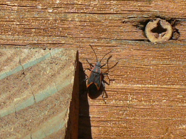 Boxelder Bugs Must Die I M Not Stalking You