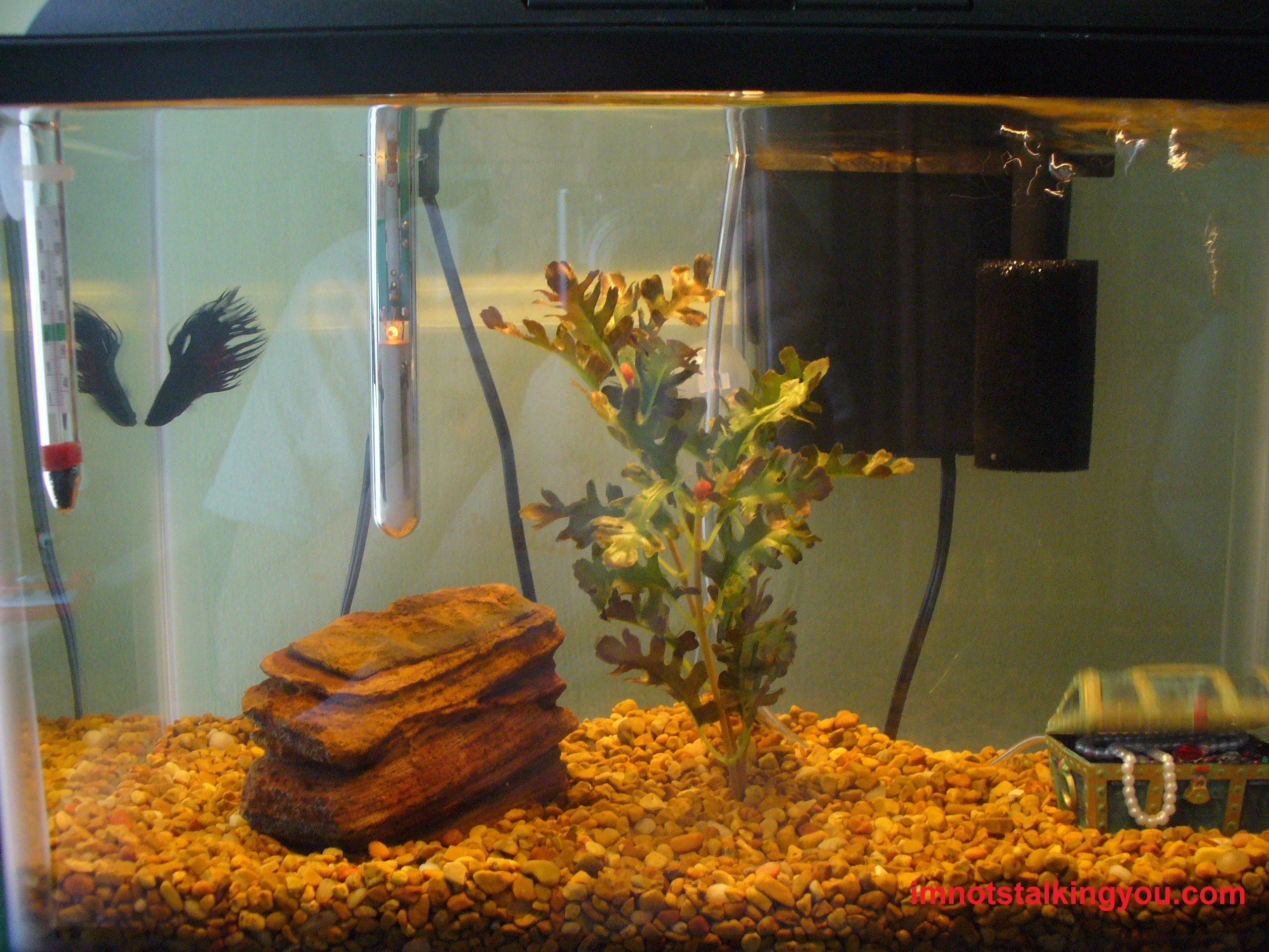 African dwarf frog i 39 m not stalking you for Fish tank frogs