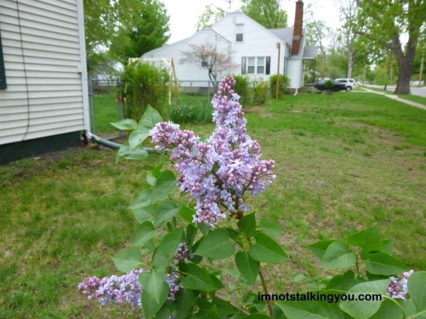 LILACS-close up 1
