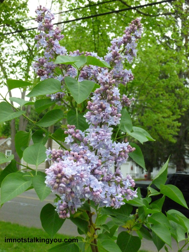 LILACS-close up 2