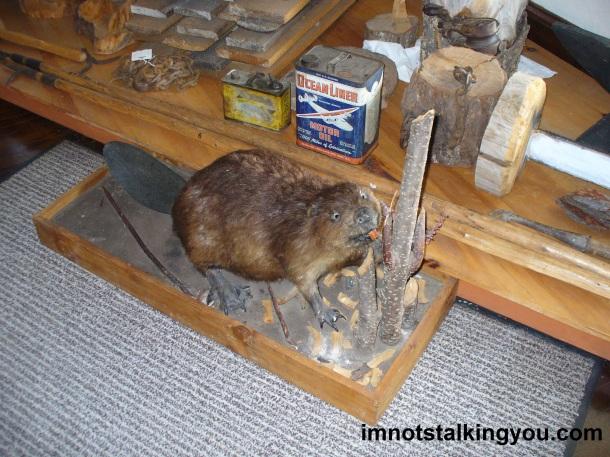 Taxidermy Beaver